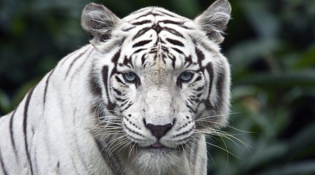 belaya tigritsa 1920x1200 1038x576 - Белые тигрицы